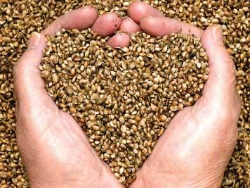 crazy bills hands holding hemp seeds